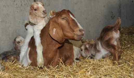 AP-Goats-2-650-x-380